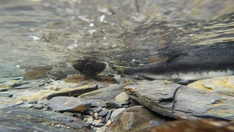 Spawning Fish Wild Salmon Swim Stream River Mating Swimming Footage