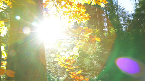 Lens Flare in Autumn Forest Footage