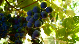 Ripe red organic grapes and grapevine leaves growing in vineyard Footage