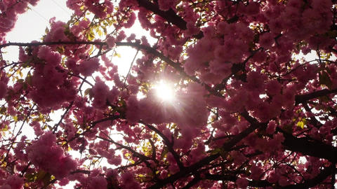 sun shines through Sakura, lovely pink spring flowers, flowering cherry tree Footage