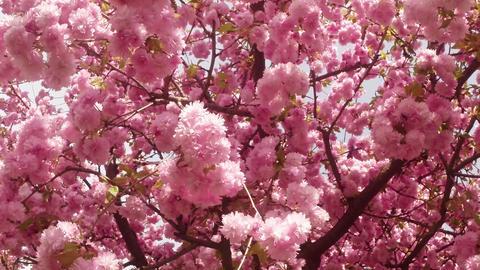 sun shines through Sakura, lovely pink spring flowers, flowering cherry tree Live Action