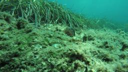 waving sea anemone Footage