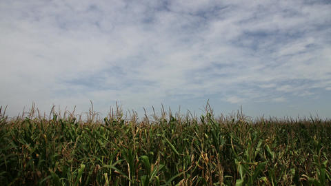 4K Late Summer Corn Field Timelapse 1 Footage