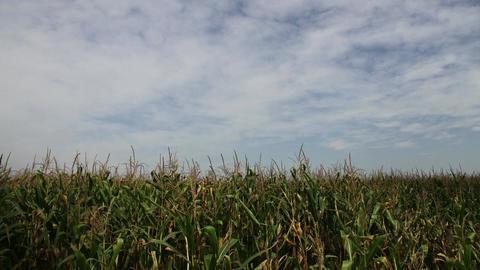 4K Late Summer Corn Field Timelapse 1 Footage
