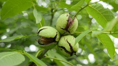 4K Walnut Tree Fruits 2 dolly ライブ動画