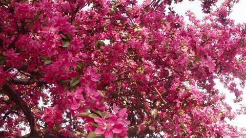 sun shines through Sakura, lovely pink spring flowers, flowering cherry tree Footage