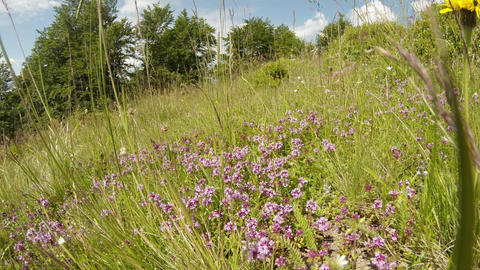 bed of thyme in a thicket of high green grass at the edge of the forest in the s Footage