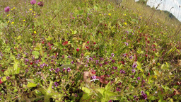 Wild Strawberry Hiding In The Flowers Of Thyme Near The Stone stock footage
