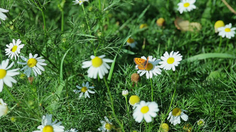 Butterfly On A Camomile stock footage