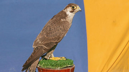 Young Peregrine falcon. Falco peregrinus. Bird of prey Footage