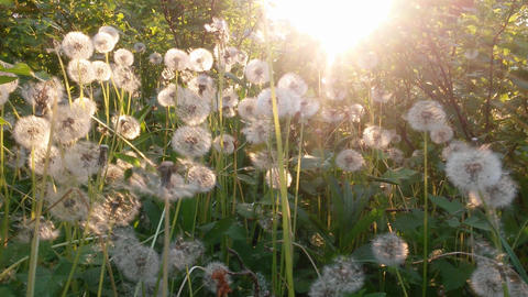 Dandelions and sunbeams 影片素材