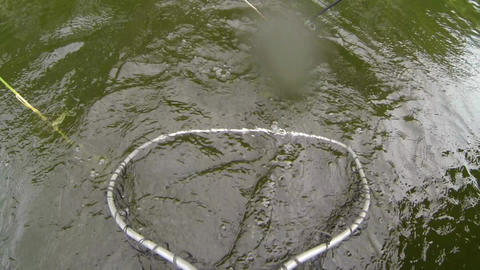 Pike splashes water while being tried to land with a landing net Footage