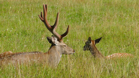 Male and female sika deer lying in the grass Footage