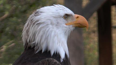 American Bald Eagle (Haliaeetus Leucocephalus) Extreme Closeup stock footage