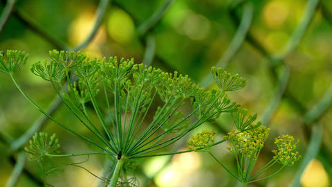 Dill in the wind, and midges in the background grating Footage