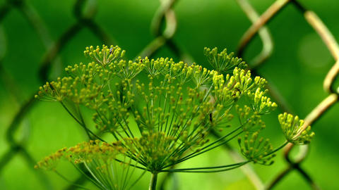 Dill On The Background Grid UHD stock footage