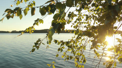 Steadycam footage of birch leaves on a sunny summer evening Live Action