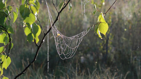 Spiderweb with dew drops hanging on a birch branch swaying in wind on early morn Footage