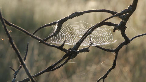 Spiderweb attached to branch moving slightly on early morning Footage