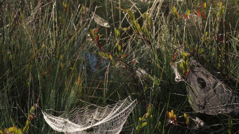 Tilt shot of spiderwebs hanging on grass on early morning Footage