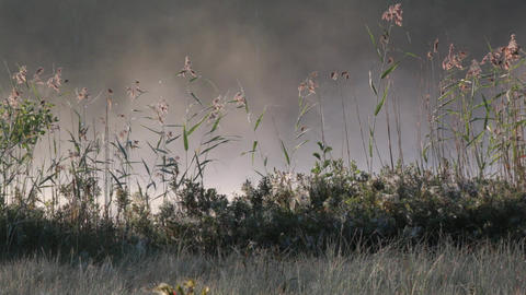 Fog moving behind swaying reeds in soft morning light Footage