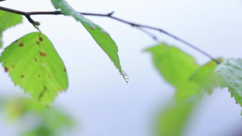 Water drop on a birch leaf after rain Footage
