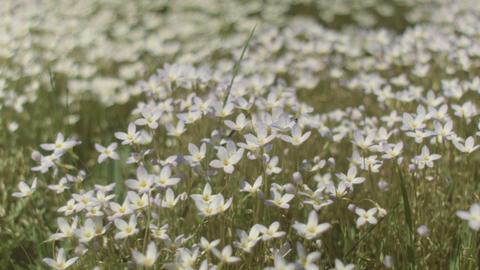 wild daisy flowers field bounces in the wind Footage