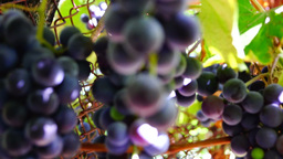 Bunches of red grapes hanging on the vine Footage