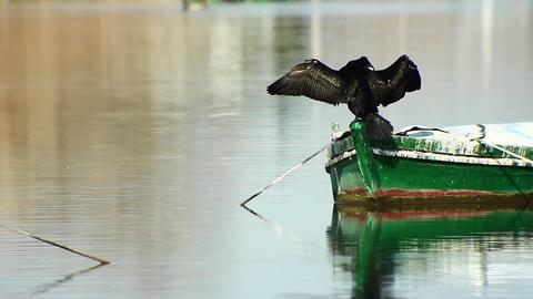 cormorant Footage