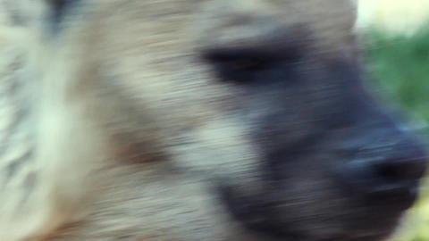 hyena Footage