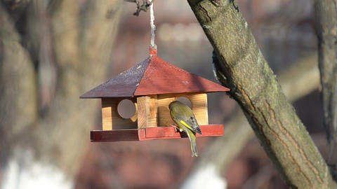 Small birds are feeding at a manger Footage