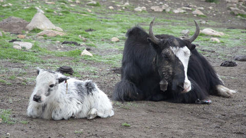 Funny small yak was scared by something Footage