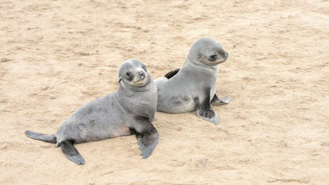 Two Funny Fur Seals On A Sand Beach stock footage