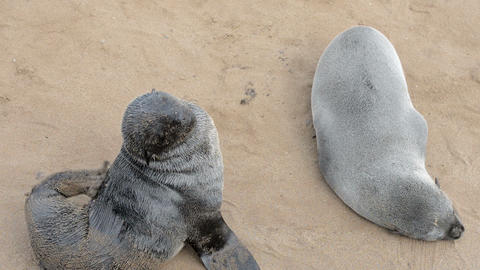 Two funny fur seals on a sand beach Footage