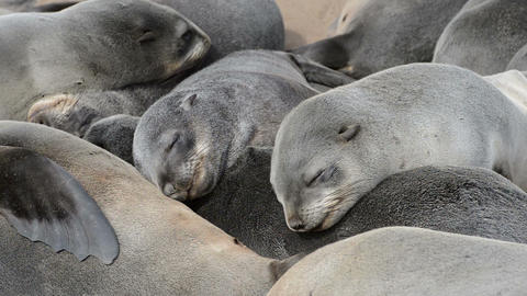 Close up view of a group of small sleeping fur seals Footage