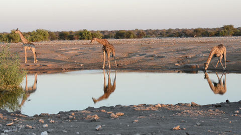 The group of giraffes is drinking water at waterhole in a funny manner Footage