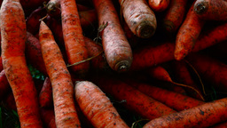 A pile of carrots (Daucus carota) on the ground. Carrots crop Footage