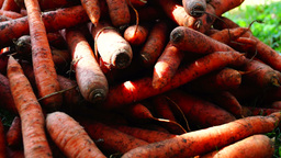 A pile of carrots (Daucus carota) on the ground, panoramic. Carrots crop Footage