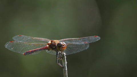 Slow motion of a dragonfly flying and resting on a stick Footage