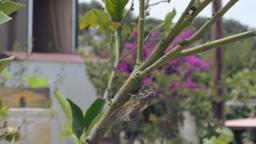 Noisy Sing cicadas (Cicadidae/ Cicadomorpha) Footage