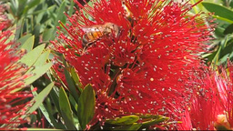 Bees in a Bottlebrush (Callistemon citrinus) Footage