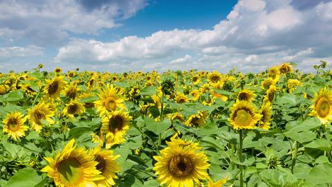 Sunflowers Field Footage