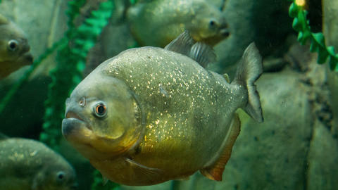 Piranha stock footage