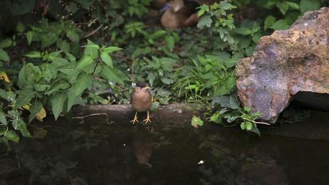 A little bird drinks water Footage