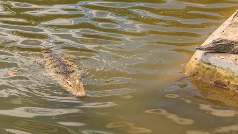 crocodile swims in pond of crocodile farm Footage