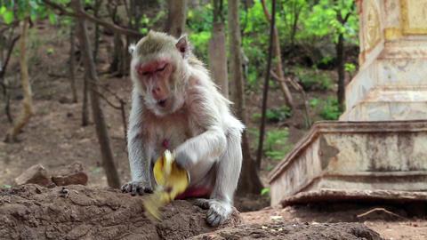 Rhesus macaque Footage