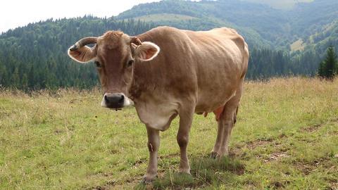 Brown cow on grassland Footage