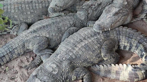 Crocodiles lying on the ground Live Action