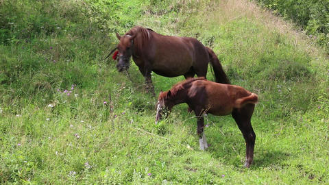 Two horses on pasture Footage