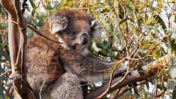adult koala Stock Video Footage